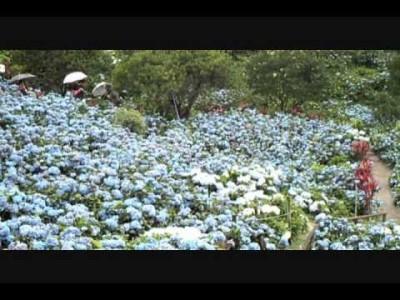 2015年5月9日(土)~6月30日(火)よへなあじさい園 開園 / 本部町