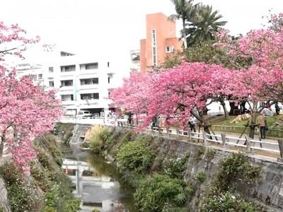 2016年2月10日(水)~14日(日)なはさくらまつり2016 / 那覇市・与儀公園