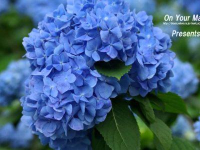 2017年5月20日(土)~6月25日(日)よへなあじさい園 開園 / 本部町