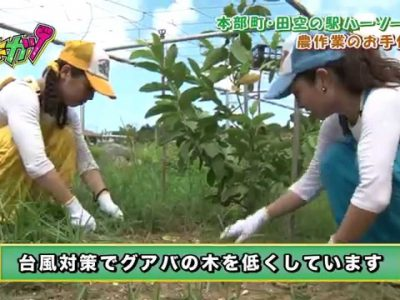 2017年5月24日(水)~28日(日)ひまわり収穫祭 / 本部町・田空の駅ハーソー公園