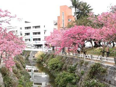 2018年2月21日(水)~25日(日)なはさくらまつり2018 / 那覇市・与儀公園